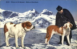 Saint Bernards Postcard