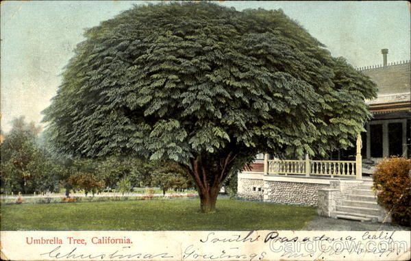 What Is My Paypal Email >> Umbrella Tree California Trees