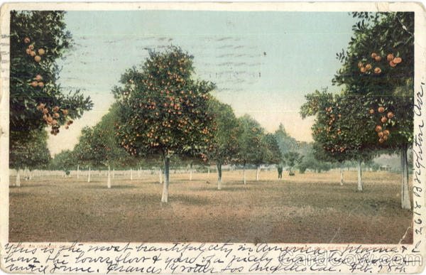 A California Orange Grove Scenic