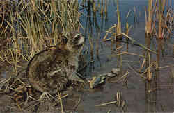 Fishing: Raccoon feeding along lake edge