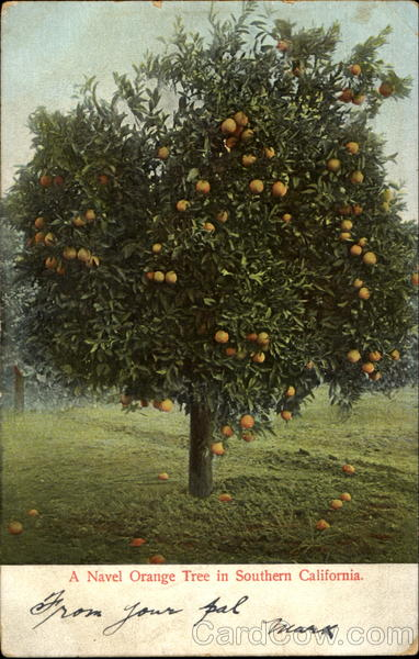 A Navel Orange Tree In Southern California Scenic Trees