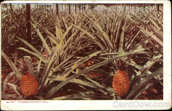 A Florida Pineapple Field Fruit