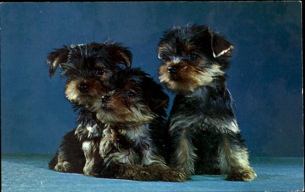 Purebred Yorkshire Terrier Puppies Dogs