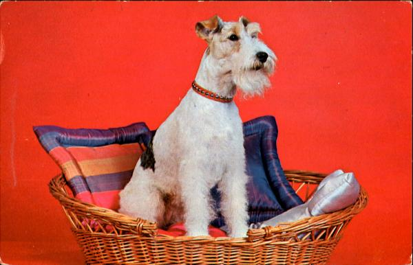 Purebred Wire Haired Terrier Dogs