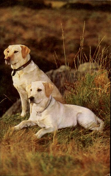 Yellow Labradors Dogs