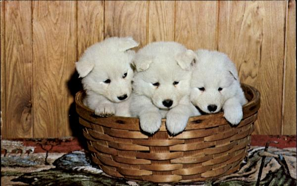 Samoyed Puppies Dogs