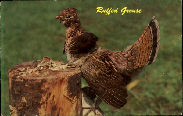 Ruffed Grouse Birds