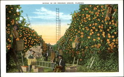 Scene In An Orange Grove