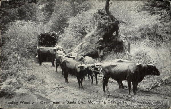 Hauling Wood With Oxen Team Santa Cruz Mt California