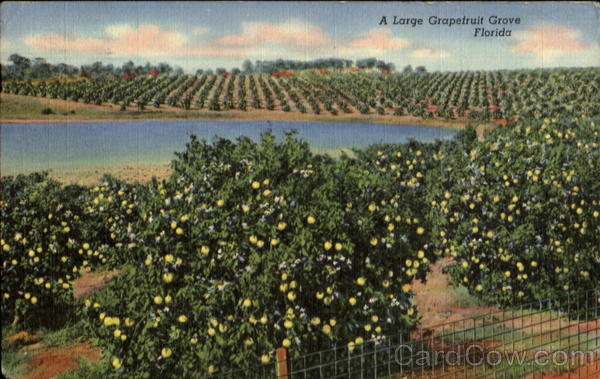 A Large Grapefruit Grove Florida