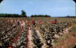 Harvesting Tobacco In Virginia