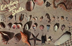 Carolina Sea Shells