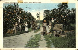 Picking Indian River Prize Fruit