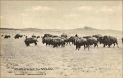 Herd Of Wild Buffaloes