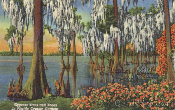 Cypress Trees and Knees In Florida Cypress Gardens