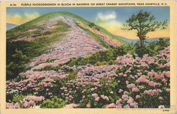 Purple Rhododendron in Bloom in Gardens on Great Craggy Mountains Asheville North Carolina