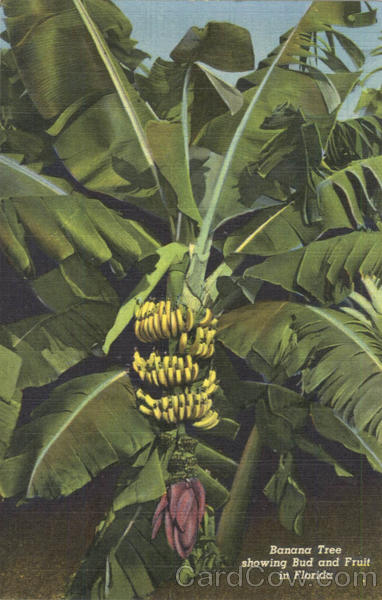 Banana Tree showing Bud and Fruit
