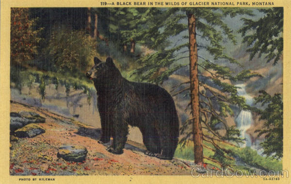 A Black Bear in the wilds of Glacier National Park