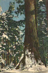 Winter, Marisposa Grove, Big Trees