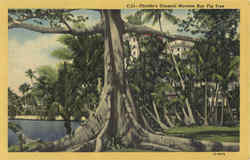 Florida's Unusual Moreton Bay Fig Tree