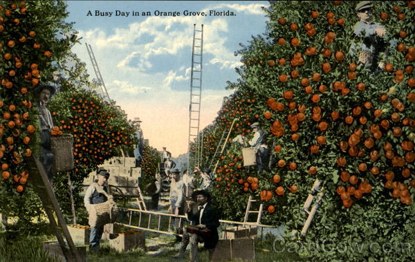 A Busy Day In An Orange Grove Florida
