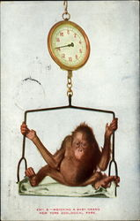 Weighing A Baby Orang, New York Zoological Park