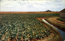 An Irrigated Field Of Sugar Beets