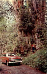 World's Largest Red Cedar, Olympic National Park