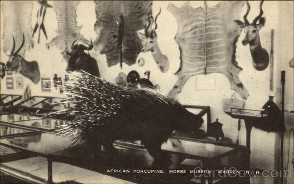 African Porcupine, Morse Museum Warren New Hampshire