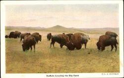 Buffalo Grazing The Big Open