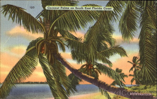 Coconut Palms On South East Florida Coast Trees