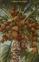 A Cocoanut Tree In Florida