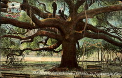The Largest Live Oak Tree In Florrida