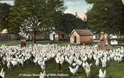 A Chicken Ranch Flock Of 1200