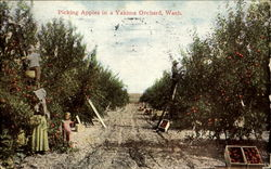 Picking Apples In A Yakima Orchard