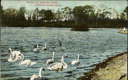 Swans At Jamaica Pond