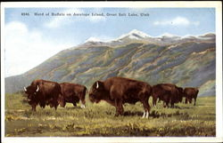 Herd Of Buffalo On Antelope Island