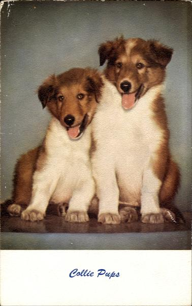 Collie Pups Dogs