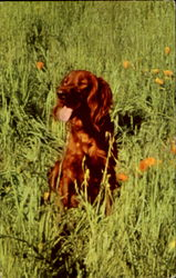 A Good Scout The Irish Setter