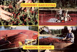 Cranberry Harvesting Postcard