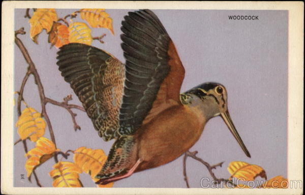 Woodcock Birds