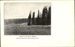 Sheep In The Sierra Madres