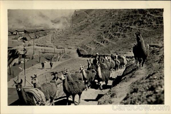 A Llama Pack-Train Peru