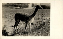 The Vicuna Postcard