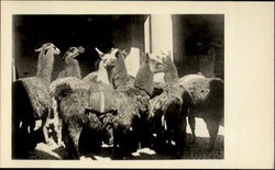 Llamas In The Courtyard Of A Hotel Postcard