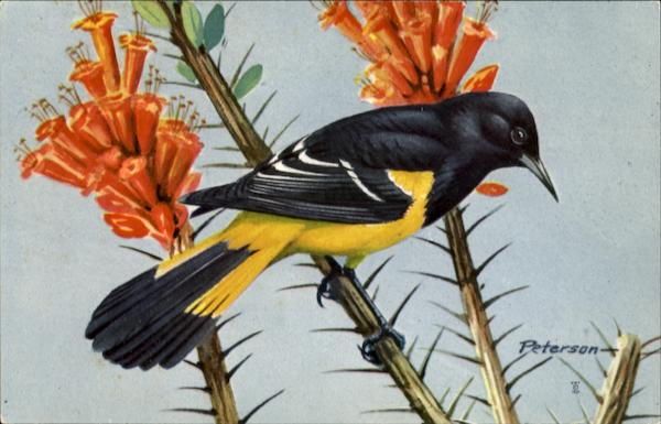 Scott's Oriole Birds