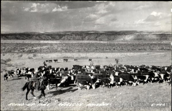 Round Up Time Willcox Arizona Cows & Cattle