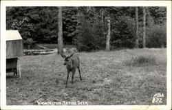 Washington Native Deer