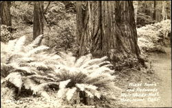 Giant Ferns And Redwoods, Muir Woods National Monument