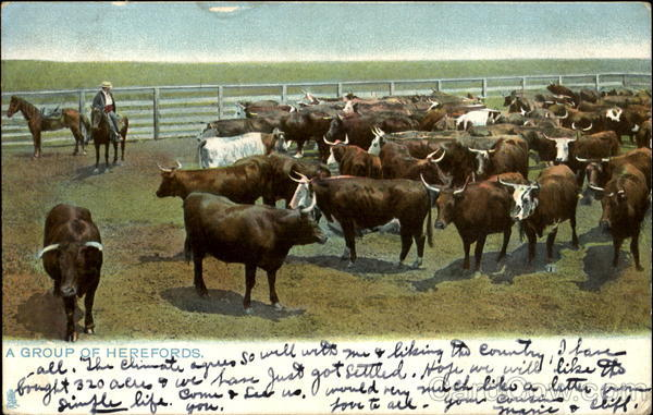 A Group Of Herefords Cowboy Western